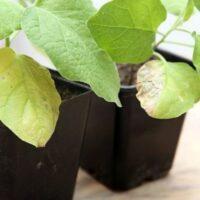 желтеют листья рассады баклажан