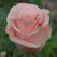 роза титаник