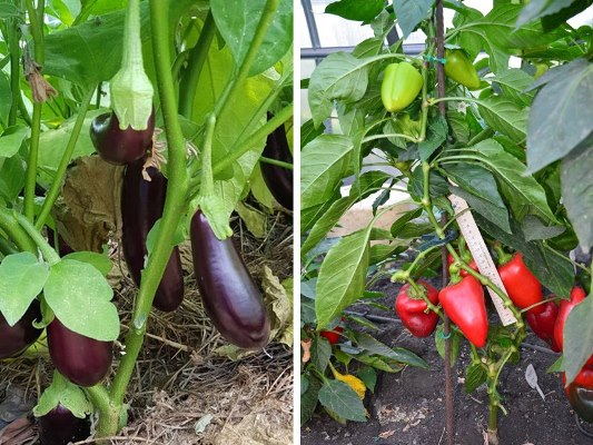 с чем посадить баклажаны в теплице