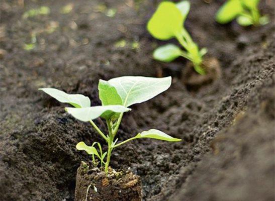 как правильно посадить баклажаны в теплице