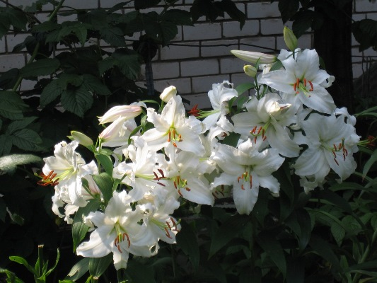 лилия сибирь отзывы