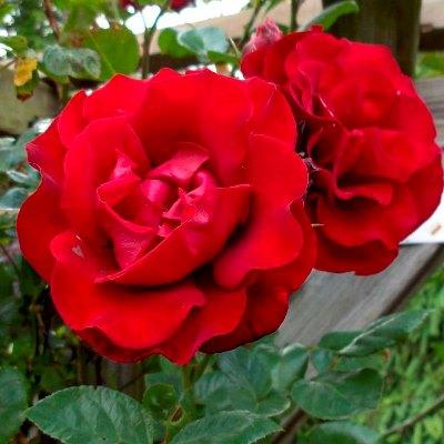 роза сантана плетистая