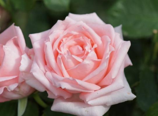 роза титаник фото и описание