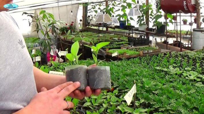 чем подкормить рассаду помидор перцев баклажан