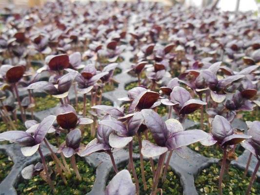 базилик арарат фиолетовый выращивание из семян