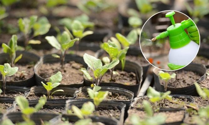 почему у рассады баклажан желтеют листья
