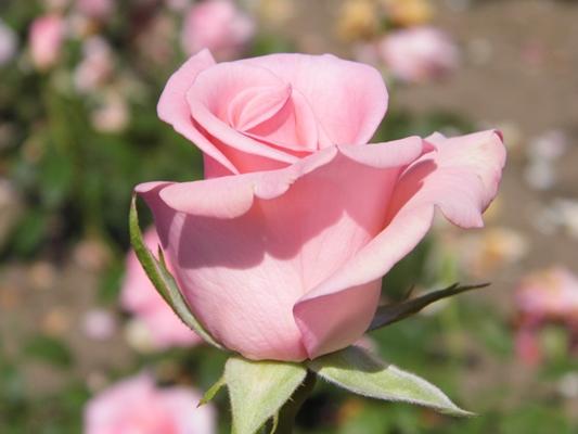 роза титаник цветок