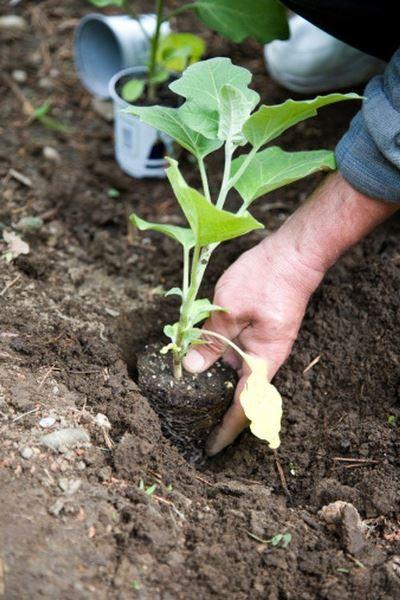 когда высаживать рассаду баклажан в теплицу