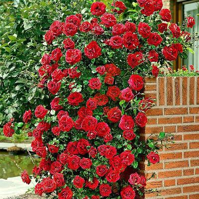 плетистая роза сантана фото и описание