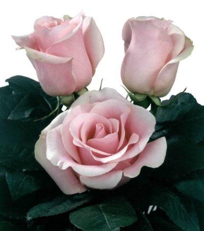 роза титаник фото и описание отзывы