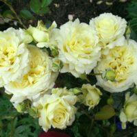 плетистая роза эльф фото и описание