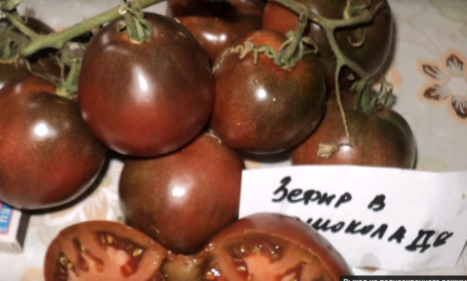 томат зефир в шоколаде характеристика отзывы