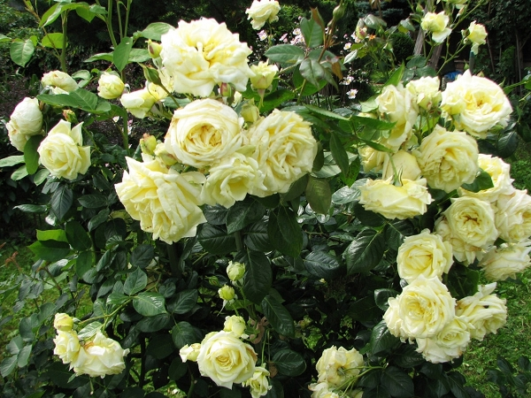 роза эльф фото и описание отзывы