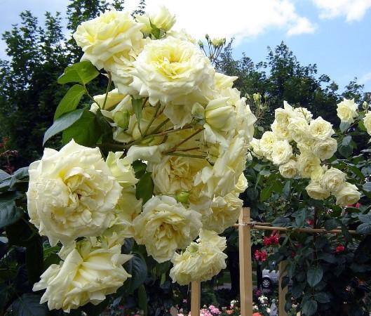 роза эльф плетистая отзывы