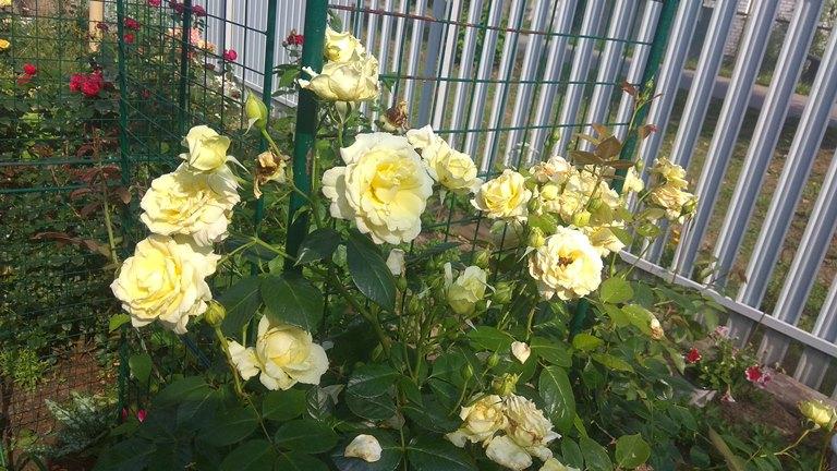 роза эльф фото