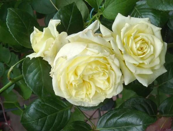 роза эльф отзывы