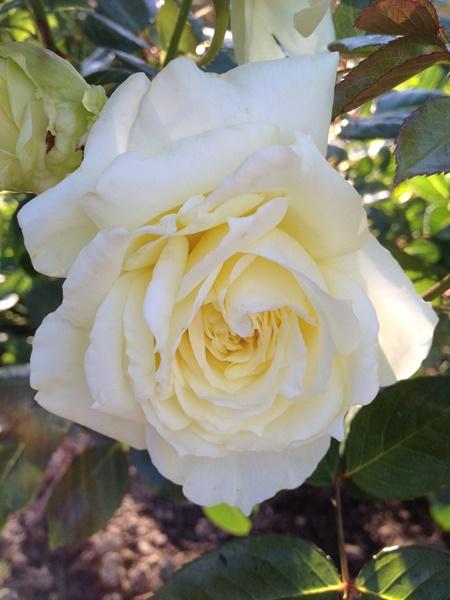 роза эльф фото и описание