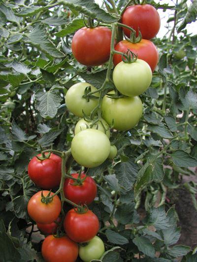 томат никола отзывы