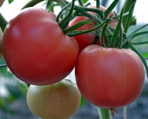 томат никола отзывы фото урожайность характеристика