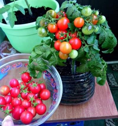 томат пиноккио отзывы фото урожайность характеристика