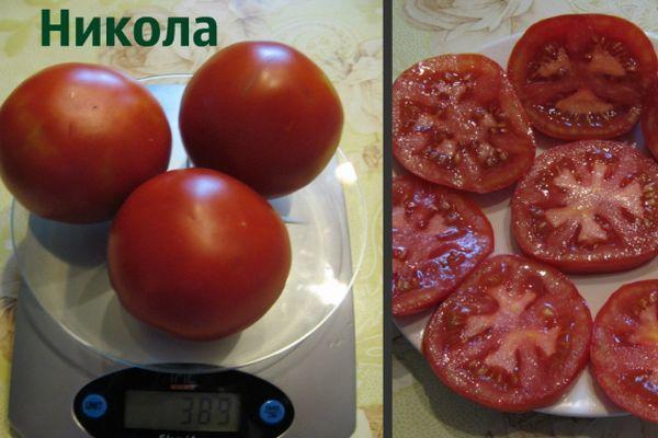 сорт помидор никола