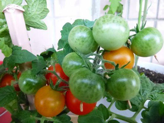 томат пиноккио выращивание на подоконнике