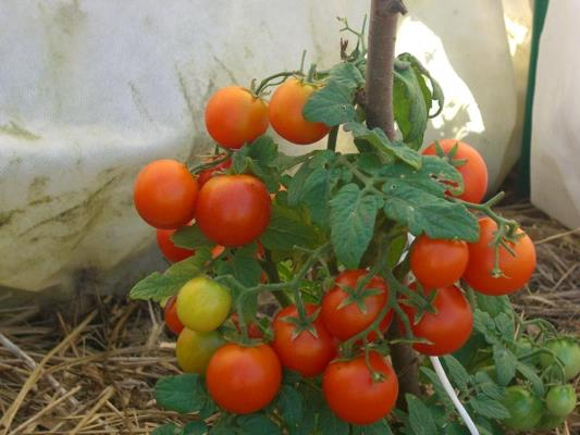 томат сорт пиноккио отзывы