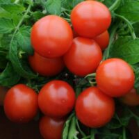 томат дубрава характеристика и описание сорта отзывы