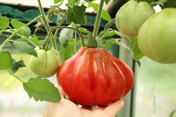 томат пузата хата