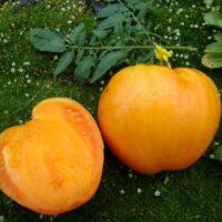 медовый спас томат отзывы