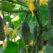 огурцы колибри описание сорта фото