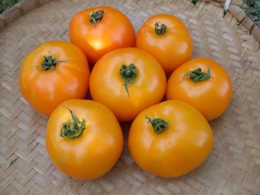 томат апельсин описание сорта фото отзывы