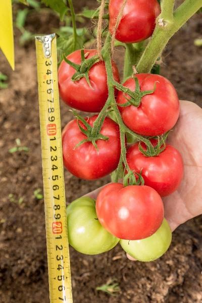 томат герцогиня вкуса