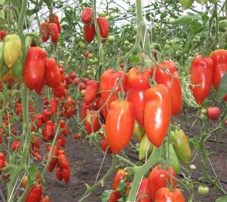 томат корнабель отзывы фото урожайность