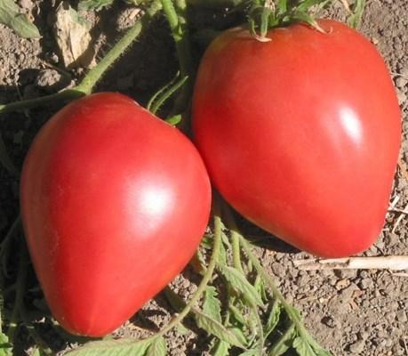 томат лентяйка