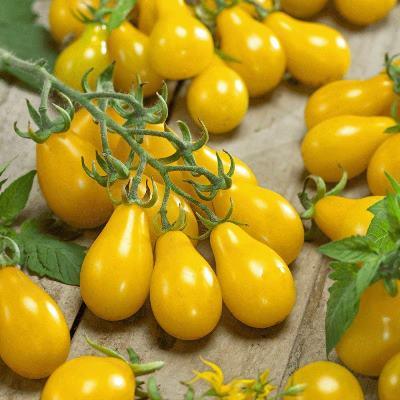 томат медовая капля описание сорта фото отзывы