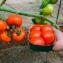 томат соседская зависть описание сорта фото отзывы