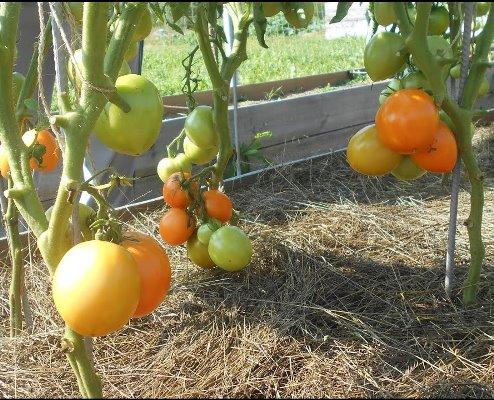 томат яблонька желтая описание фо