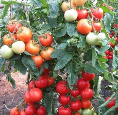 яблонька россии томат отзывы фото