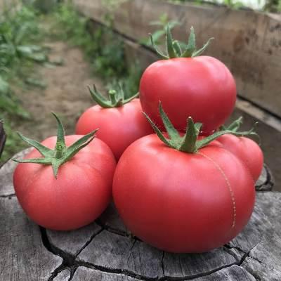 томат розовая фенда