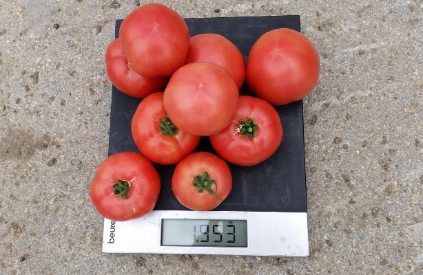 томат фенда отзывы фото урожайность
