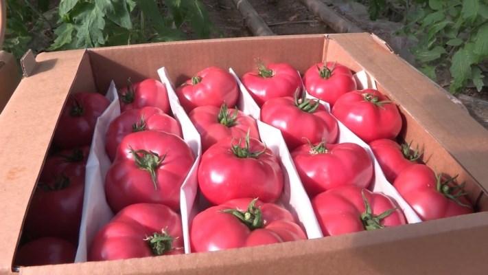 томат фенда характеристика и описание сорта