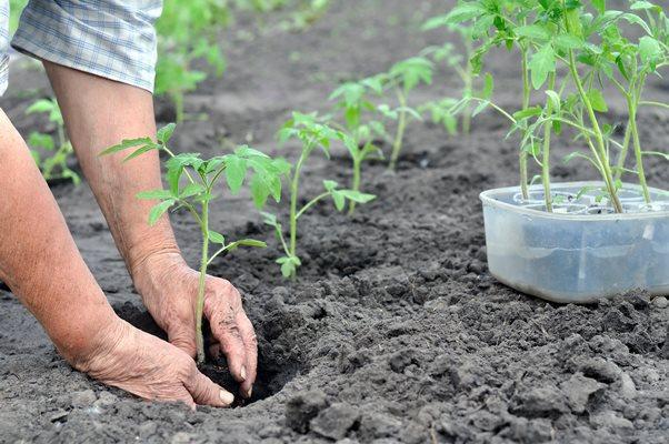 томат посадка в грунт 2