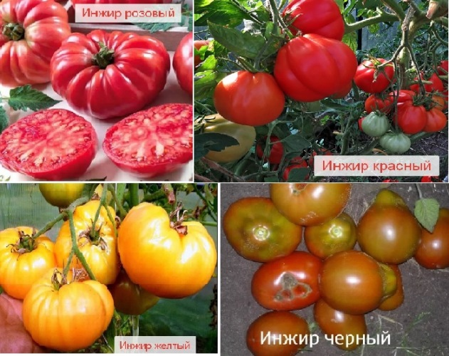 томат инжир розовый характеристика