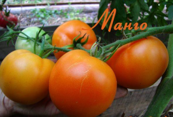 томат манго