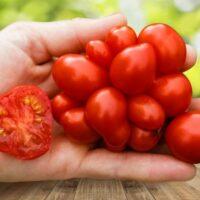 томат рейсетомейт отзывы фото