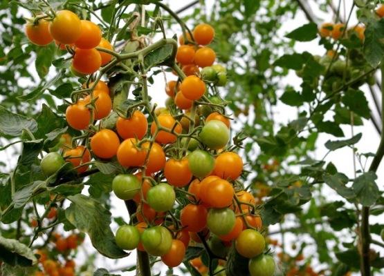 томат черри краски отзывы фото урожайность
