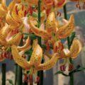 лилия гвинея голд