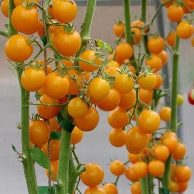 томат краски