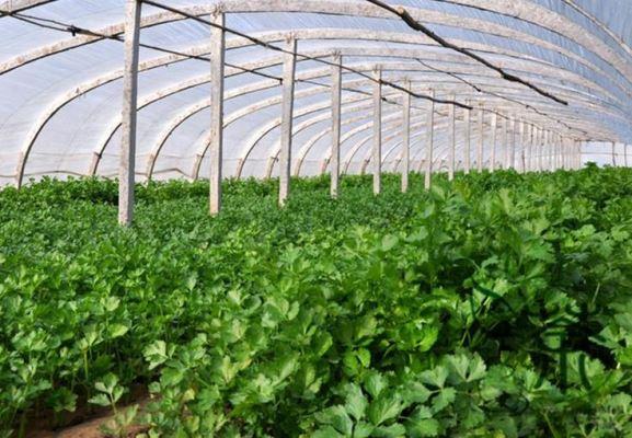 выращивание петрушки в теплице на продажу